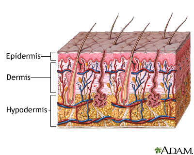 The Deepest Layer Of The Epidermis, The Stratum Basale, Is A Single Layer  Of Cells Resting On A Basement Membrane (layer Between The Dermis And  Epidermis).